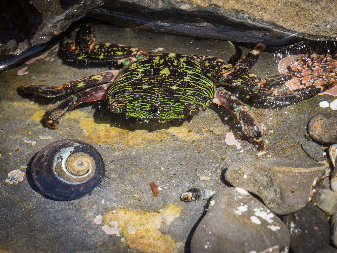 Crab in the Point Lobos tide pools