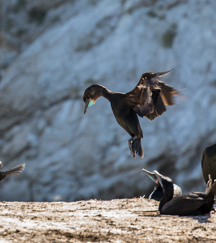 Cormorant coming in for a landing at Bird Island