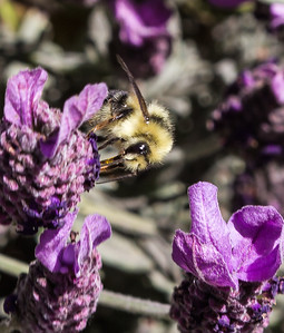 Bee in Point Reyes