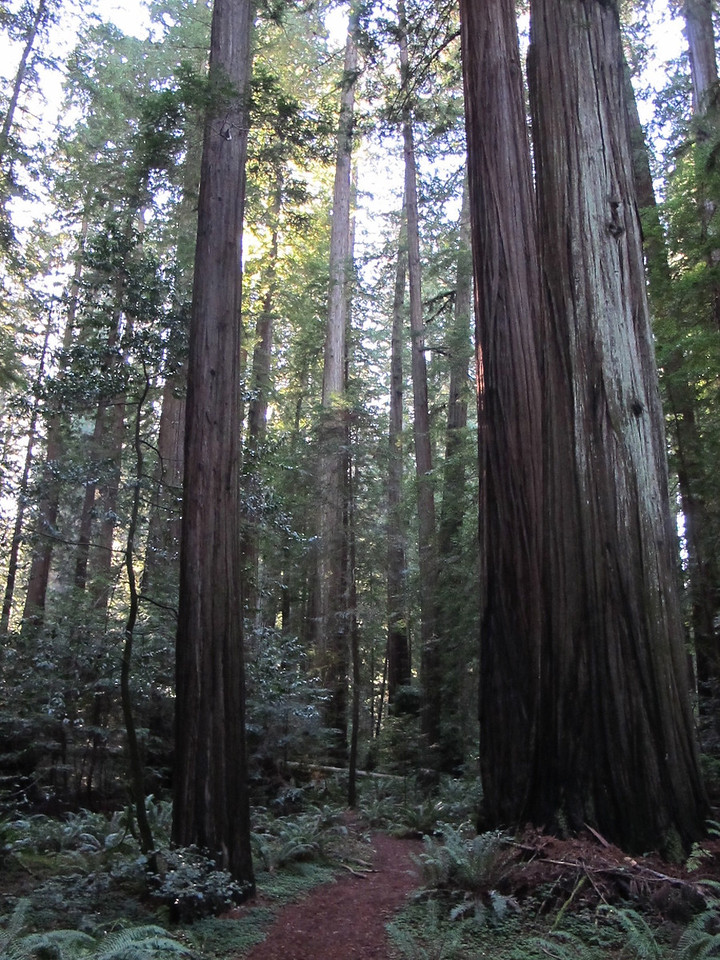 Redwoods - most massive and some of the oldest living things on eart - more then 2000 years old.