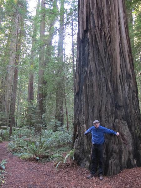 Big Sequia Redwood.