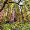 Muir Woods - Nik