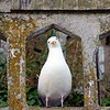 A curious Seagull on Alcatraz