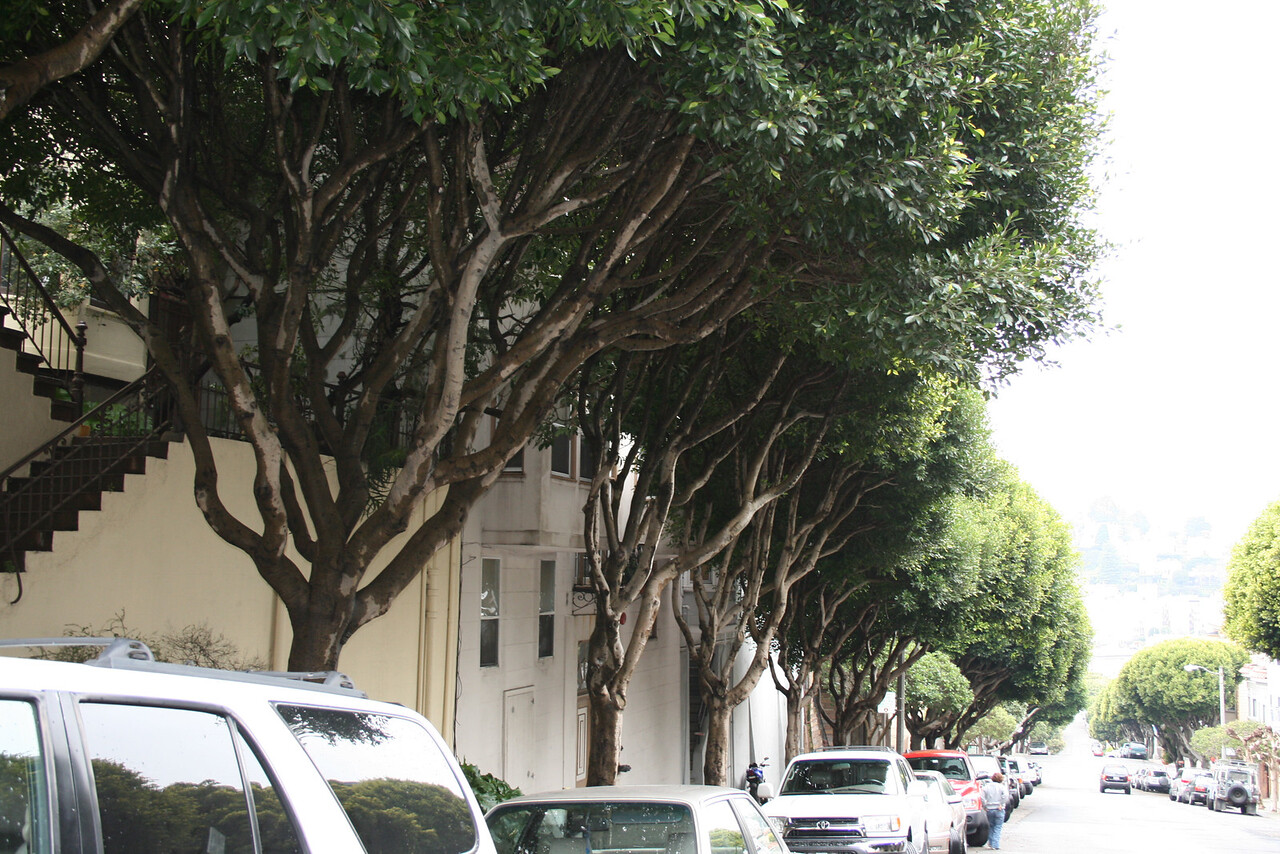 Feb. 19/08 - More interesting trees on Lombard St., San Francisco