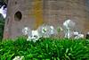 P1230129 White Flowers w Windmill 300 dpi