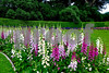 P1230146 Cresent of Foxgloves 300dpi