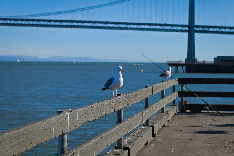 Two seagulls waiting patiently to see if the fisherman has any scraps when he pulls in his next catch for the day.  Western Section of the Oakland/San Francisco Bay Bridge in the back ground.