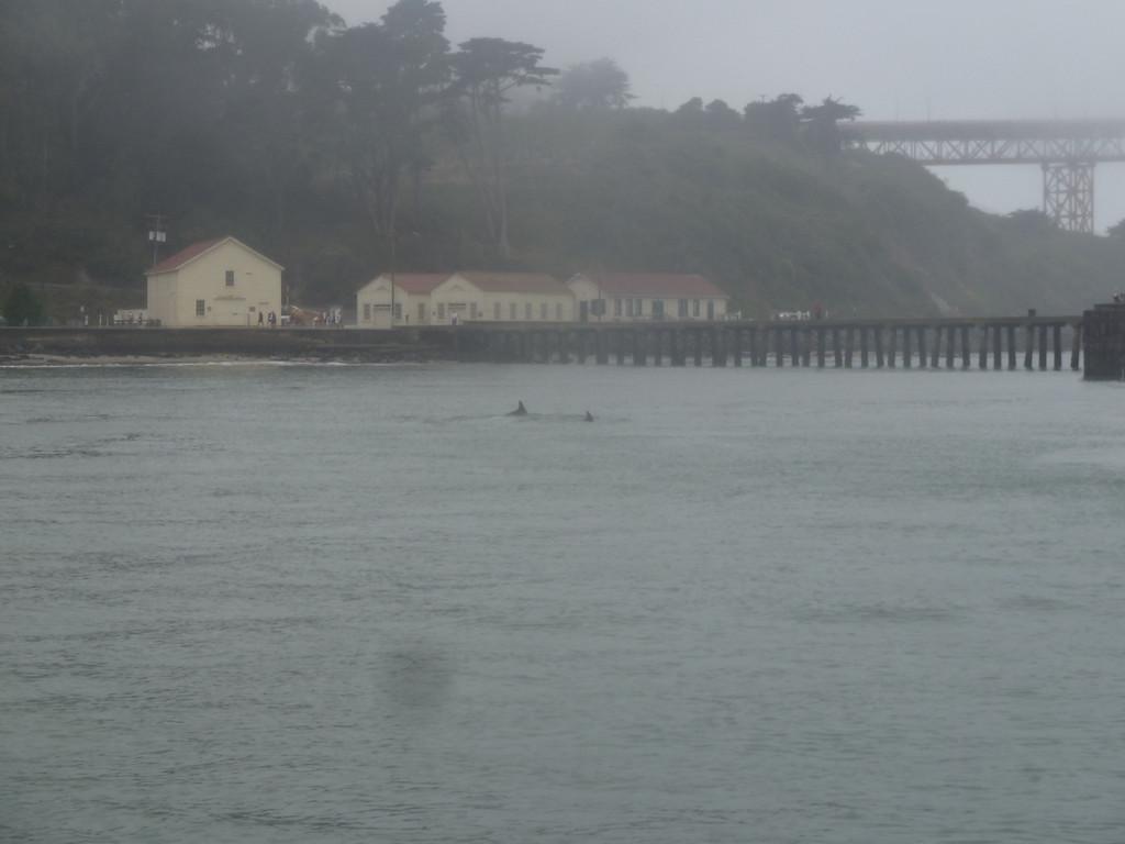 bottlenose dolphins under the Golden Gate Bridge