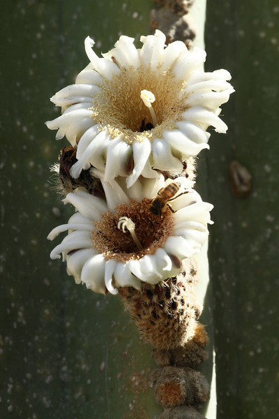Cactus with bee
