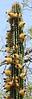 Cardon cactus in bloom