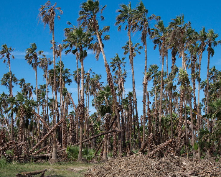 Thr San Jose Del Cabo palm forest after hurricane O'Dile