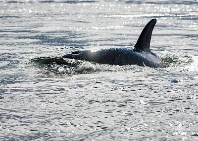 Orcas whales frolic off San Juan Island, Washington