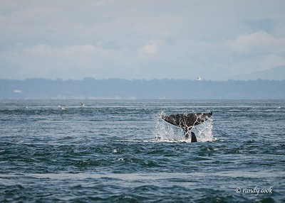 Orca whales tail off San Juan Island, Washington