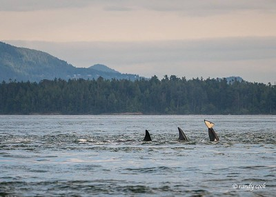 Orca whales tails off San Juan Island, Washington