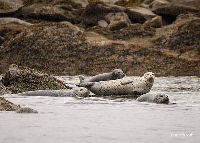 Harbor seals on the rocks