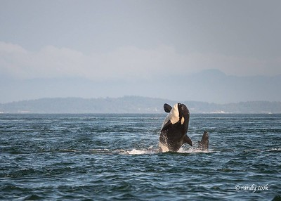 Orcas whale breaches off San Juan Island, Washington