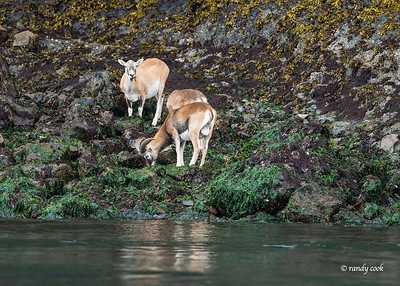 Exotic Mouflon Sheep on Spieden Island