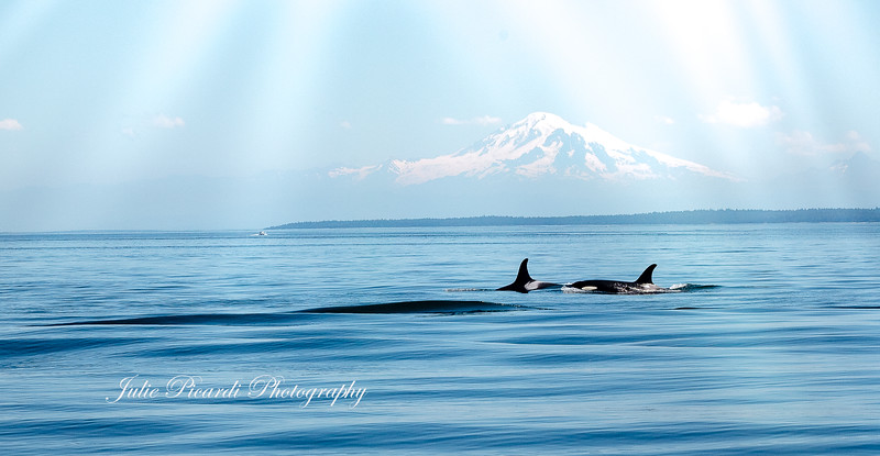 Orcas playing and fishing in front of Mt. Baker