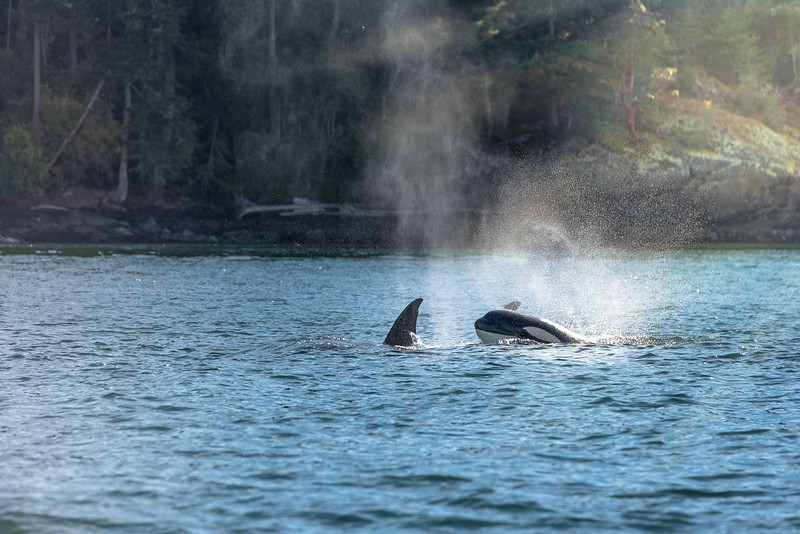 Constantly on the move, these  transient Orca whales  eat meat other than fish. Their diet mostly consists of seals, sea lions, porpoises and other marine mammals.