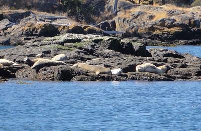 Friday Harbor seals