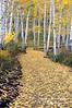Autumn, Aspen trees, (Populus tremuloides), San Juan Mountains, San Juan National Forest, Colorado, USA, North America