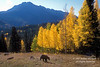 Black Bear, Autumn, Twilight Peak, San Juan Mountains, San Juan National Forest near Durango, Colorado