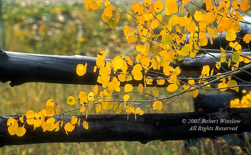 Autumn, Aspen tree, Fence, (Populus tremuloides), San Juan Mountains, San Juan National Forest, Colorado, USA, North America