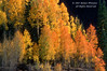 Autumn, Aspen trees, (Populus tremuloides), San Juan Mountains, San Juan National Forest, Colorado, USA, North America