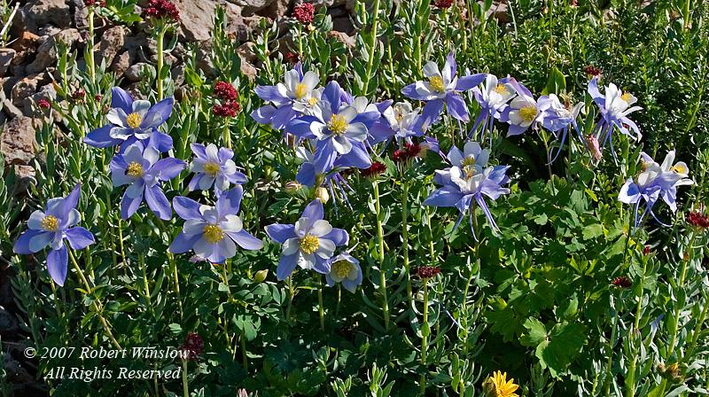 Colorado Columbine, San Juan National Forest, Colorado