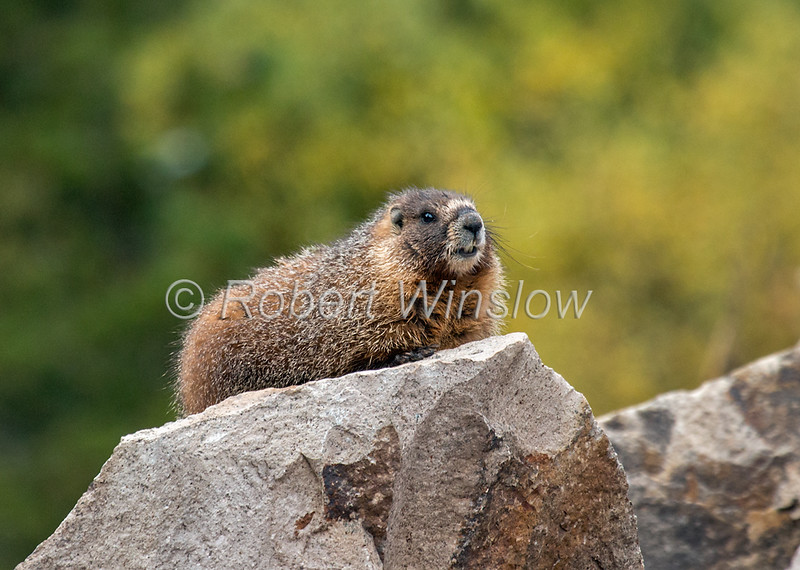 Yellow-bellied Marmot, Marmota flaviventris, San Juan Mountains, San Juan National Forest, Durango, Colorado, USA, North America