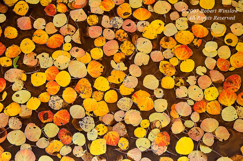 Autumn, Aspen Leaves Floating in Water, San Juan National Forest, Colorado, USA, North America