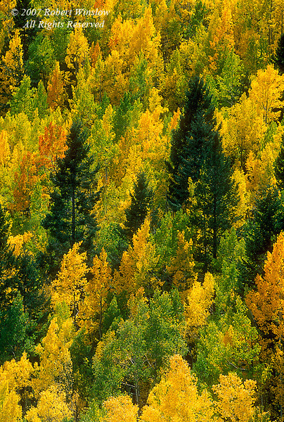 Autumn Colors, Aspen Trees, San Juan National Forest, near Durango, Colorado