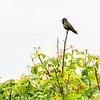 Hummingbird (Rufous?) near the Golden Gate Bridge
