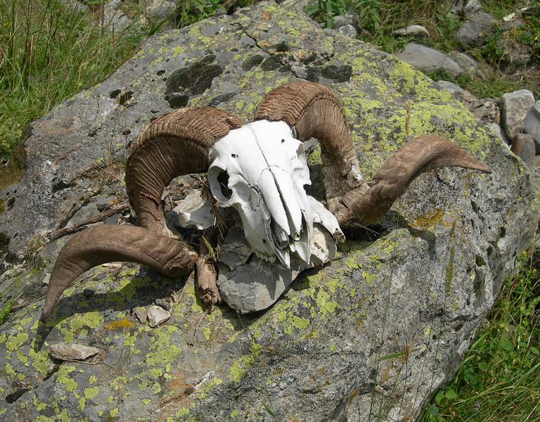 A ram's skull<br /> <br /> Il teschio di un montone