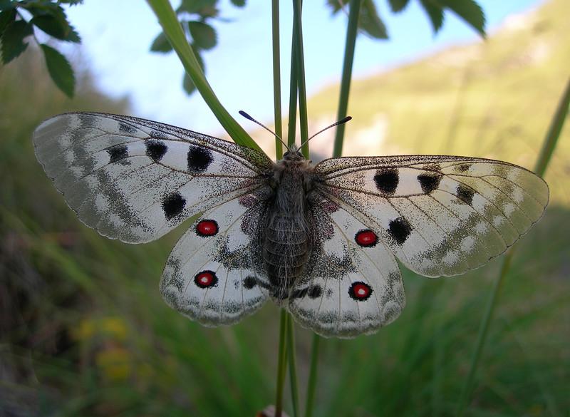Trip to the mountain Le Chamoux and Col de Pres Clos, near La Salette sanctuary, in France. A butterfly.<br /> <br /> Gita ai monti Le Chamoux e Col de Pres Clos, vicino al santuario di La Salette, in Francia. Una farfalla.