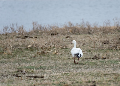 A few Snow Geese remained