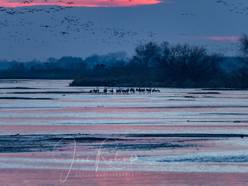 As darkness descends the groups of Sandhills flying in grow larger
