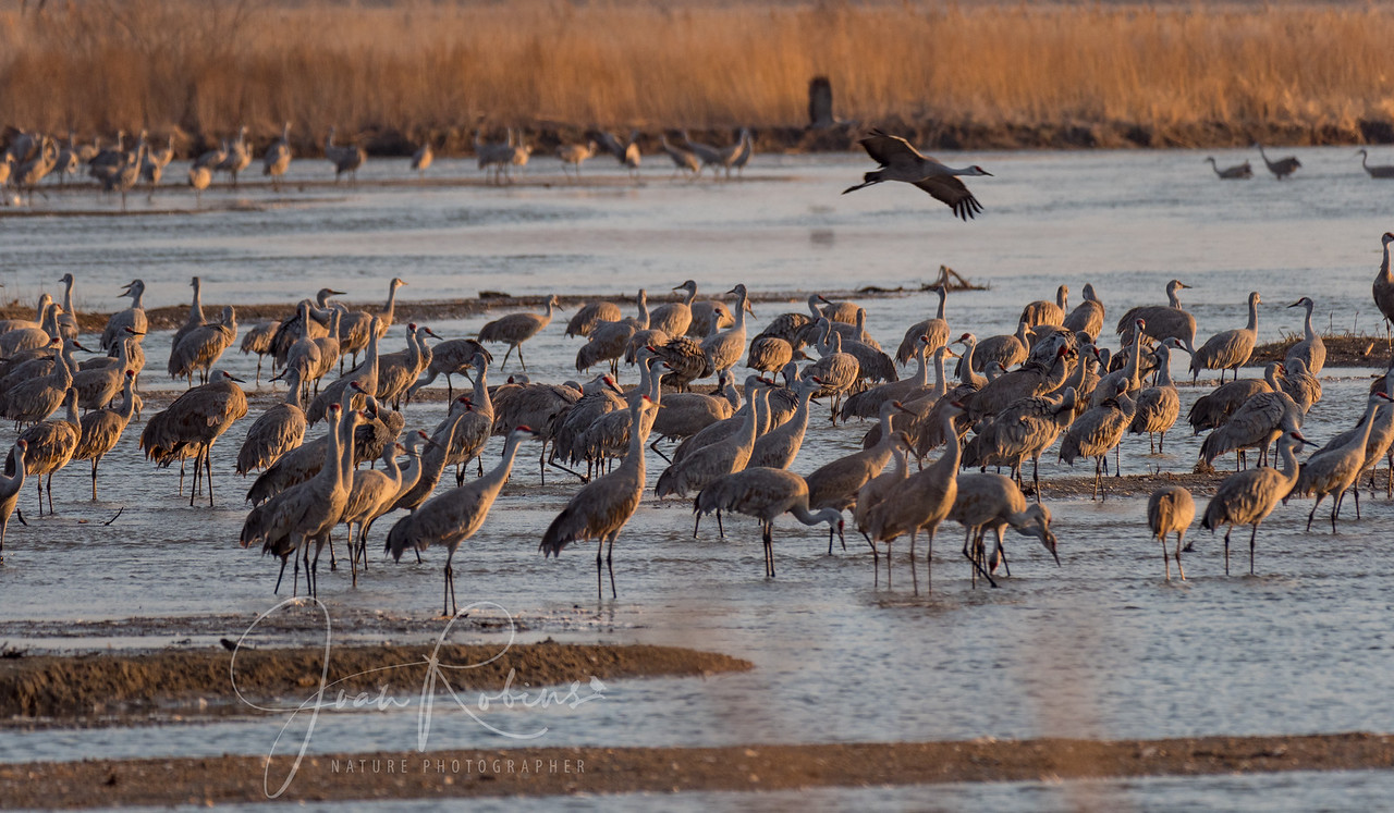Gradually groups of cranes start flying out to the fields for the day