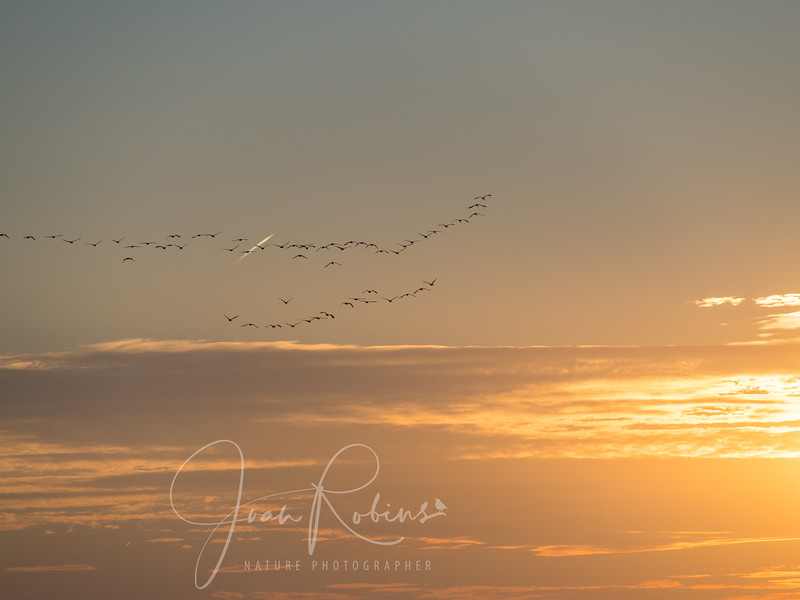 As the sun sets, the Sandhills start flying in to their night-time safe roost on the Platte River