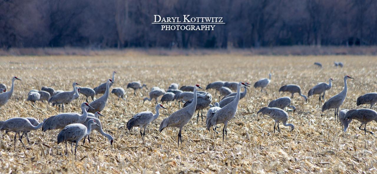 Flock Feeding Time