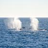 """<span id=""""title"""">Gray Whale Spouts</span>"""