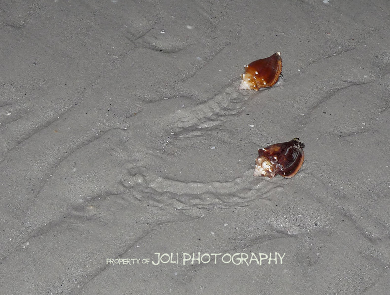 Conch Race?  Two Florida Fighting Conchs in shallow water in Sanibel Island, FL