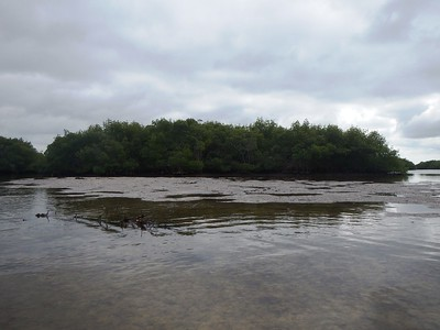shallow area in the Mangroves where we got out and walked around looking for things