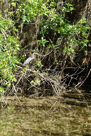 little blue heron - Everglades