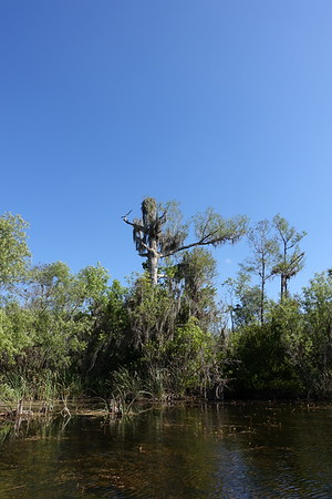 osprey nest atop the tree