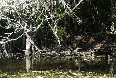 green heron - Everglades