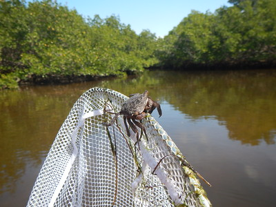 tree crab - jillions of them live in the mangrove trees