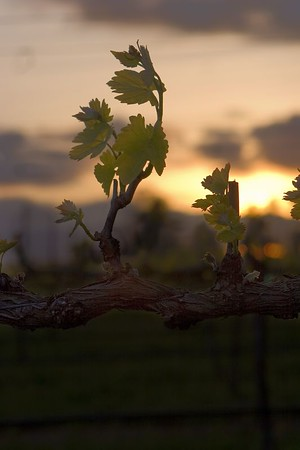 Vine at Sunset