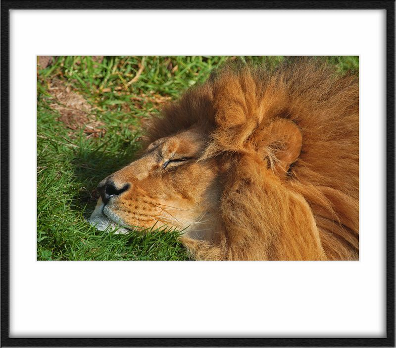 Lions were sleeping. They're cute like this. Would make you think you could snuggle up to them.
