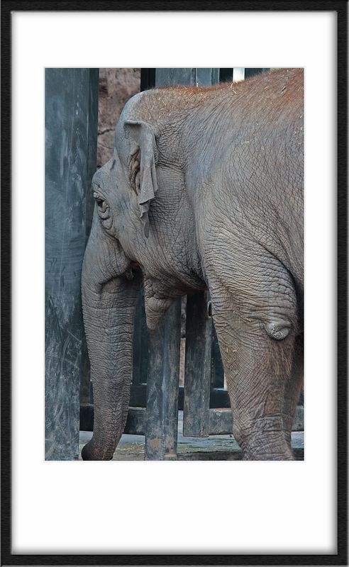 Indian Elephant. Head butting what would be (to mere mortals) an immovable object. Causing it to sway.